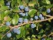 Details von Schlehenmarmelade selber machen - Schlehen Marmelade Rezept -