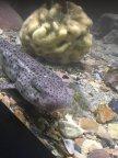 Katzenhaie - elegante Räuber der Meerwasseraquaristik Thumb