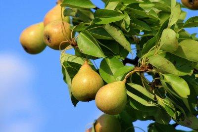 Birnen einkochen nach Omas Rezept - Birnen einwecken - Zuckersirup