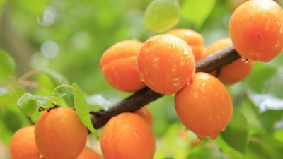 Pfirsichmarmelade einkochen - tradionelle Art mit Mandelstiften verfeinert